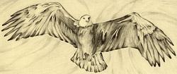 Eagle | Pasefika | Jon Apisa